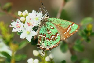Hessel's Hairstreak by Steve Mason