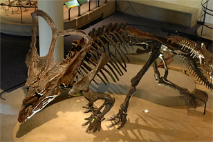 Chasmosaurus in Dinosaur Hall