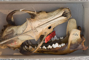 photo of a wolf skull