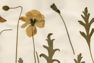 details of flowers on a herbarium sheet