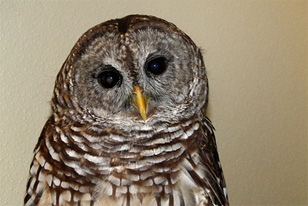 Barred Owl from the Live Animal Center
